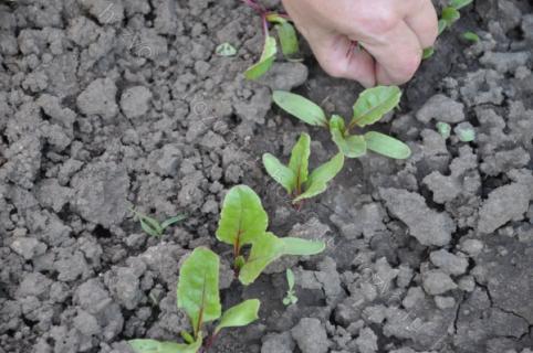 Подготовка семян свеклы к посеву