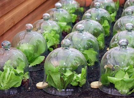Выращивание салатной капусты в теплице