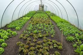 Выращивание кочанного салата в теплице