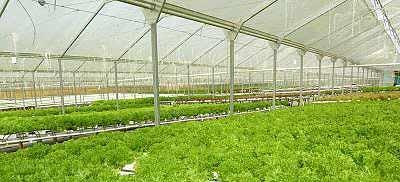 Выращивание кресс-салата в теплице