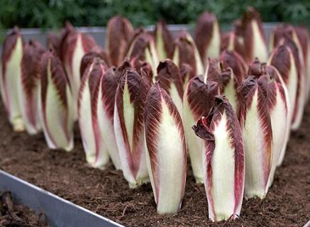 Выращивание салатного цикория в теплице