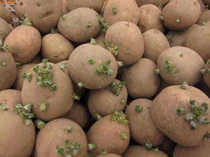 Правильная предпосадочная подготовка картофеля