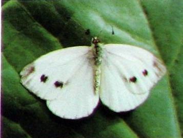 Где зимуют вредители сада (Белая бабочка, Долгоносики, Тли)