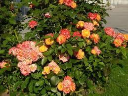 Разновидности дикорастущих роз