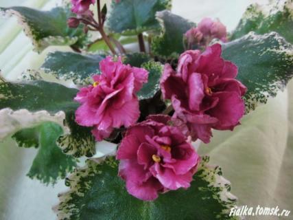 Описание коричной розы