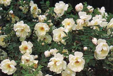 Роза морщинистая, камчатская или японская. Описание