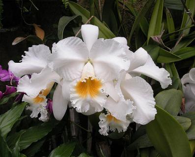 Открытие орхидеи Каттлеи