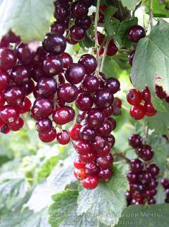 Смородина -  Виксне (вишневая). Описание