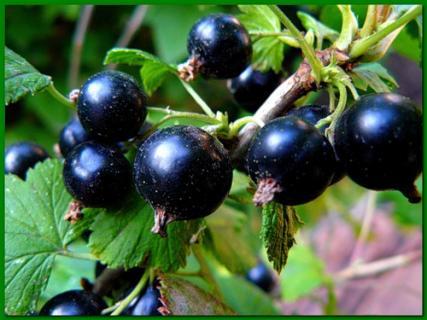 Описание урожайных сортов смородины - Забава, Отрадная, Памятная