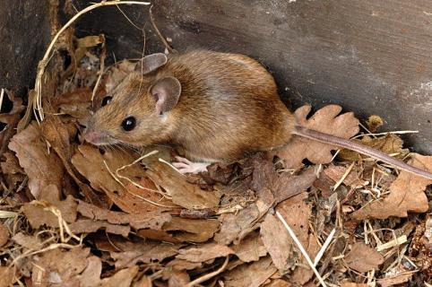 Желтогорлая мышь. Описание