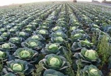 Доращивание капусты