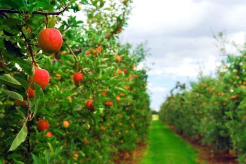 Влияние глобального потепления на плодовые деревья