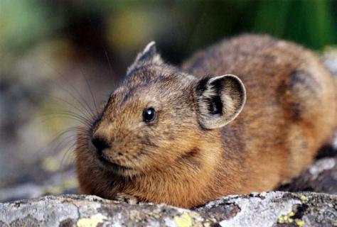 На кого больше похожа пищуха, на зайца или на мышь?
