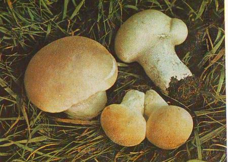 Головач продолговатый. Описание гриба