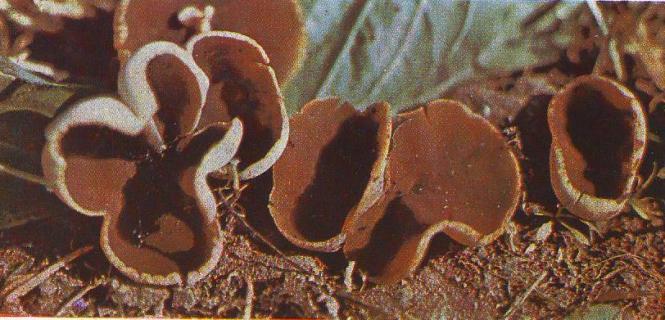 Пецица выемчатая. Описание гриба