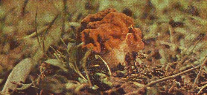 Сморчок обыкновенный. Описание гриба