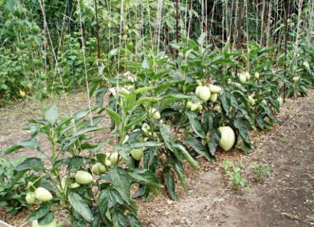 Как правильно выращивать пепино?