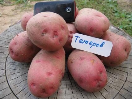 Описание сорта картофеля - тетерив