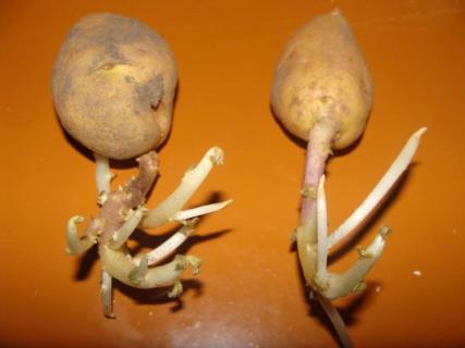 Клубни картофеля не ослабляйте