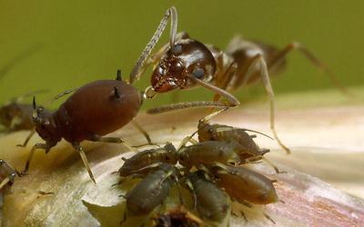 Почему муравьи оберегают тлей?