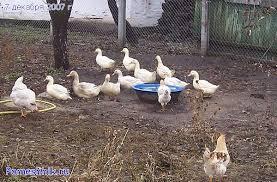 Утки обижают кур