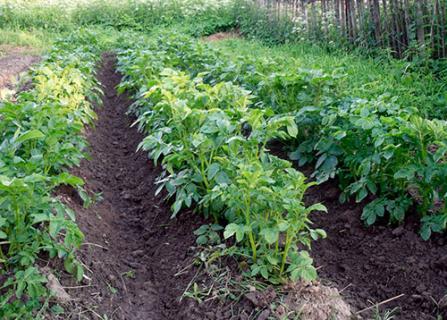 Зачем нужно окучивание растений?