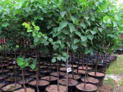 Как правильно посадить саженец абрикоса