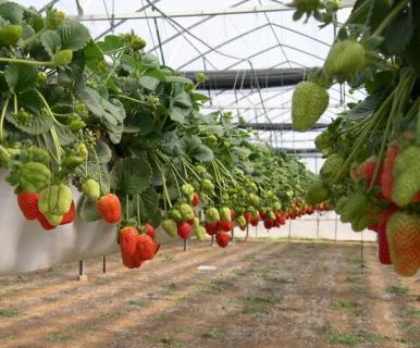 Можно ли выращивать землянику в саду?