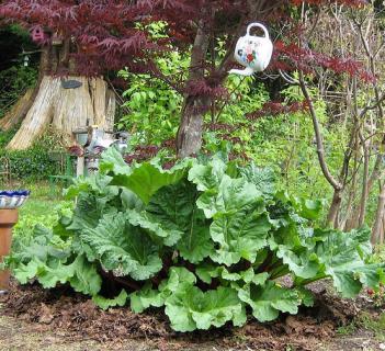 Условия выращивания ревеня