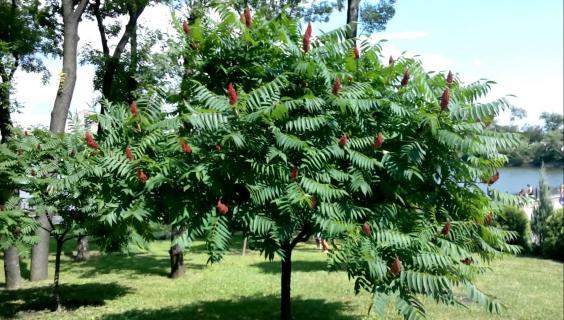 Уксусное дерево (сумах оленерогий). Описание