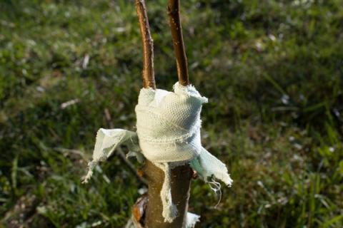 Опыт весенних прививок от садоводов