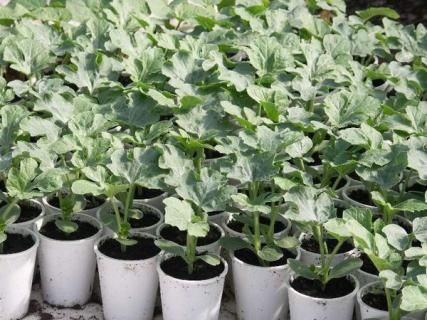 Как выращивать арбуз из рассады