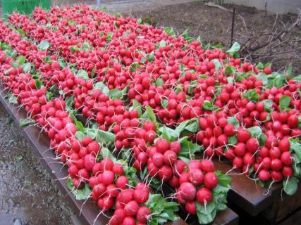 Можно ли собирать семена с редиса сорта Сора