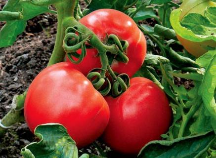 Описание сортов томатов - Винтейдж Вайн, Огни Москвы и Титан