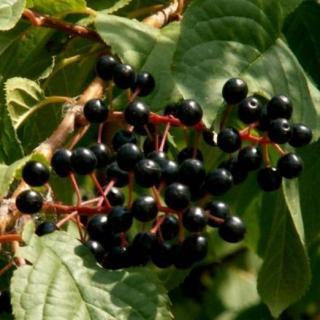 Описание сортов черемухи (Гранатная гроздь, Черный блеск)