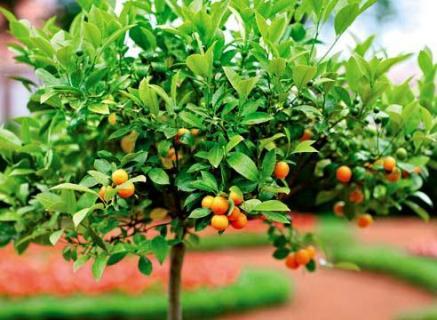 Работа с цитрусовыми деревьями в мае