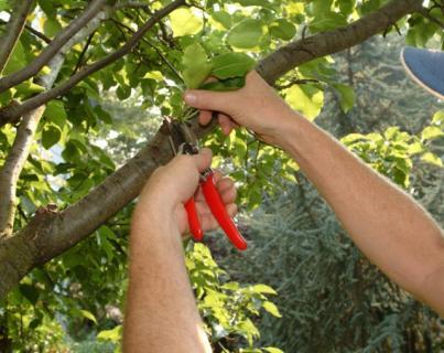 Виды обрезки, применяемые у плодовых деревьев