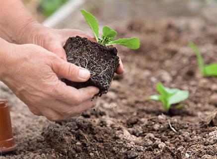 Как вырастить рассаду среднеспелой капусты