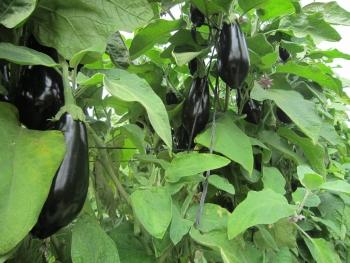 Безрассадный способ выращивания баклажанов