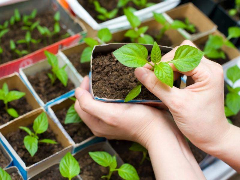 Выращивание рассады и пикировка баклажанов
