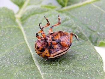 Как спасать баклажаны от колорадского жука?