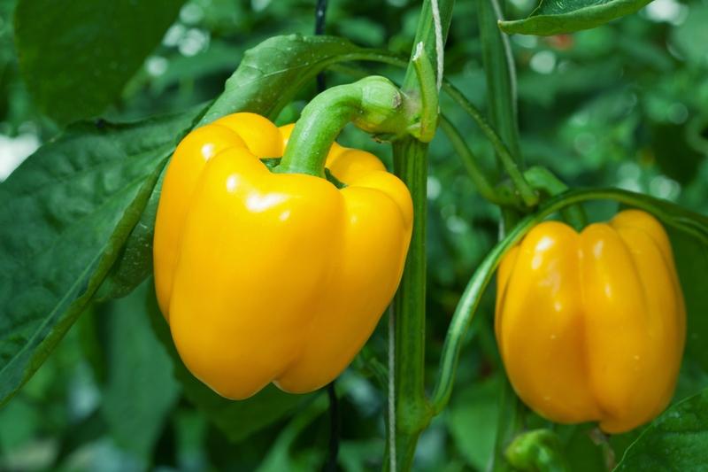 Происхождение, описание и условия выращивания перца