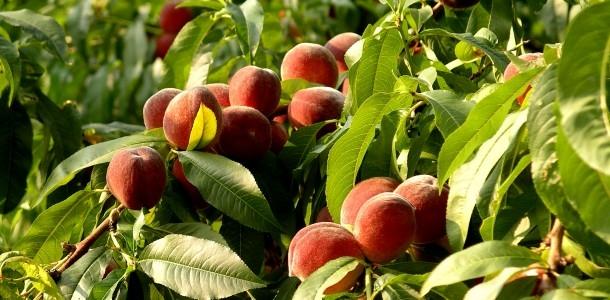 Как защитить персик от болезней?