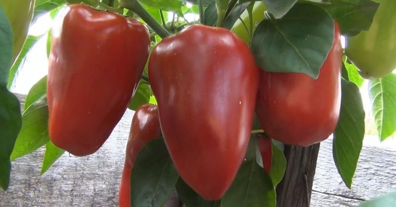 Высокоурожайные сорта  перца