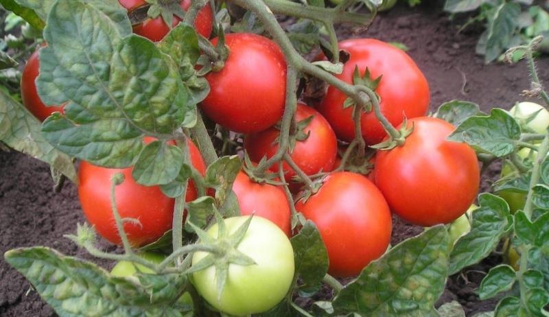 Популярные сорта томатов