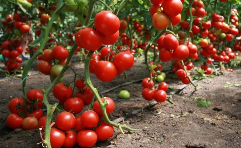 Низкорослые и высокорослые сорта томатов
