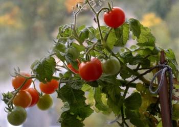 Комнатная грядка томатов