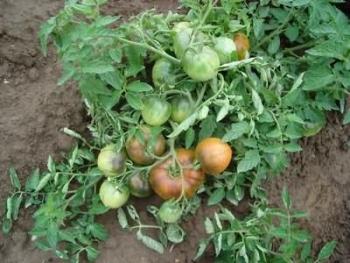 Вертициллёзное увядание и стрик томатов