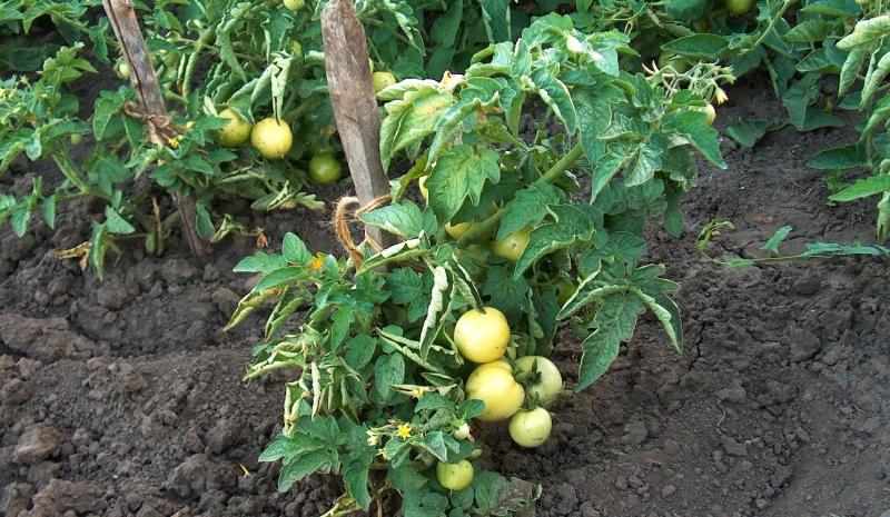 Характеристика томатов сорта  Юрмала