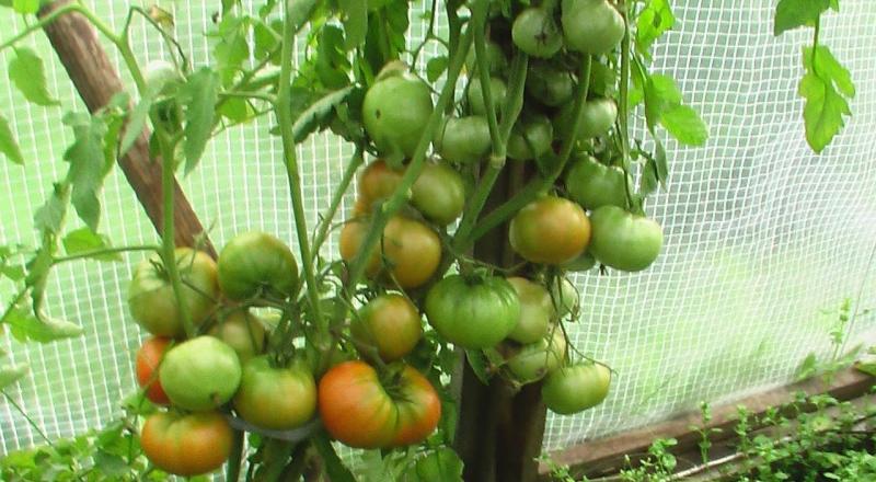 Как подобрать хороший сорт помидоров?